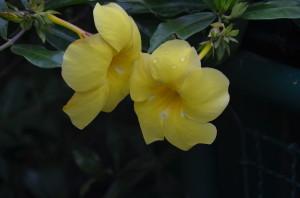 Fleur Brésil